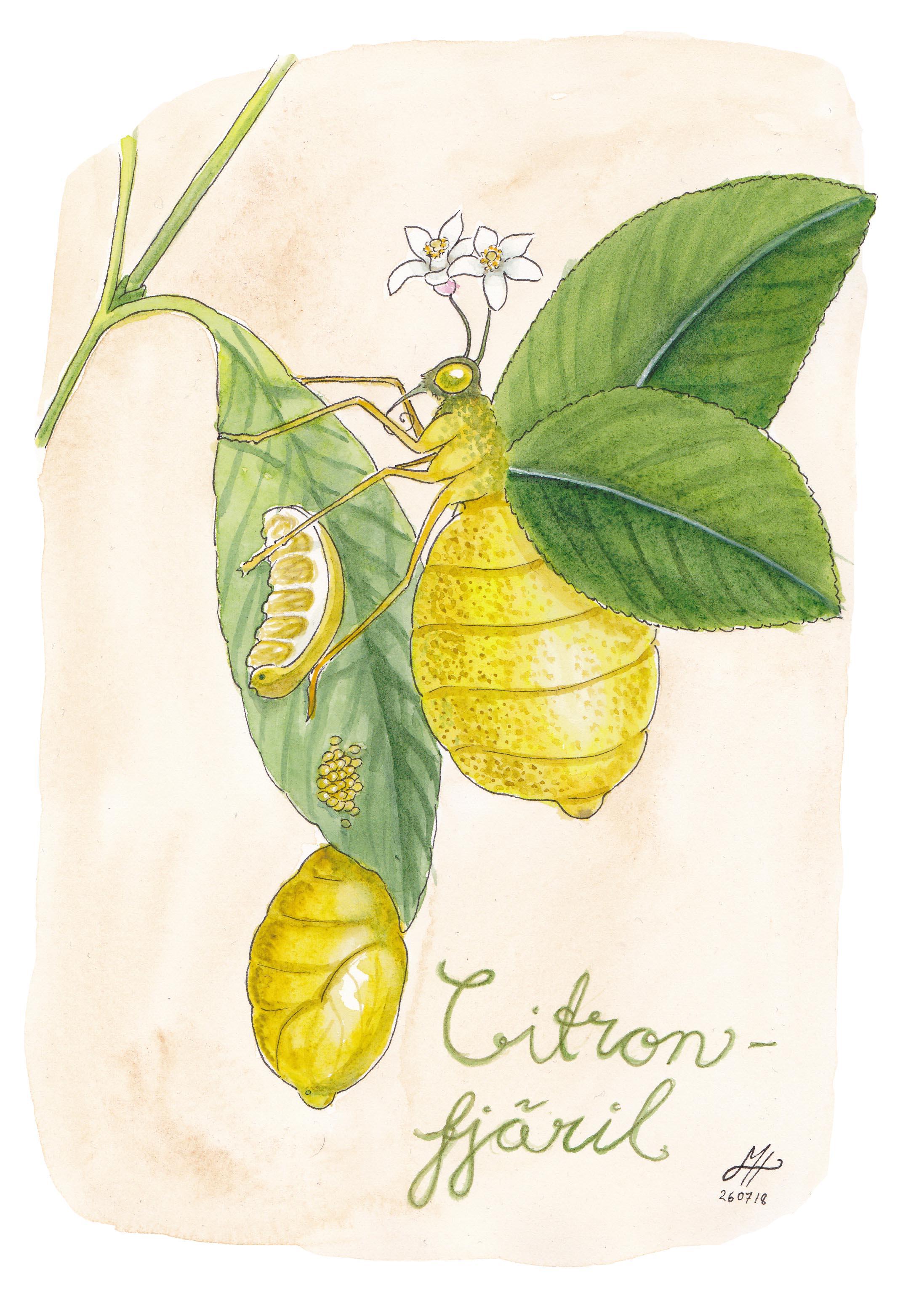 citronfjäril illustrerad ordvits